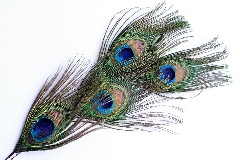 Use Peacock Feathers