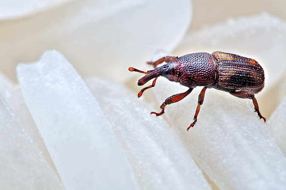What are Weevils