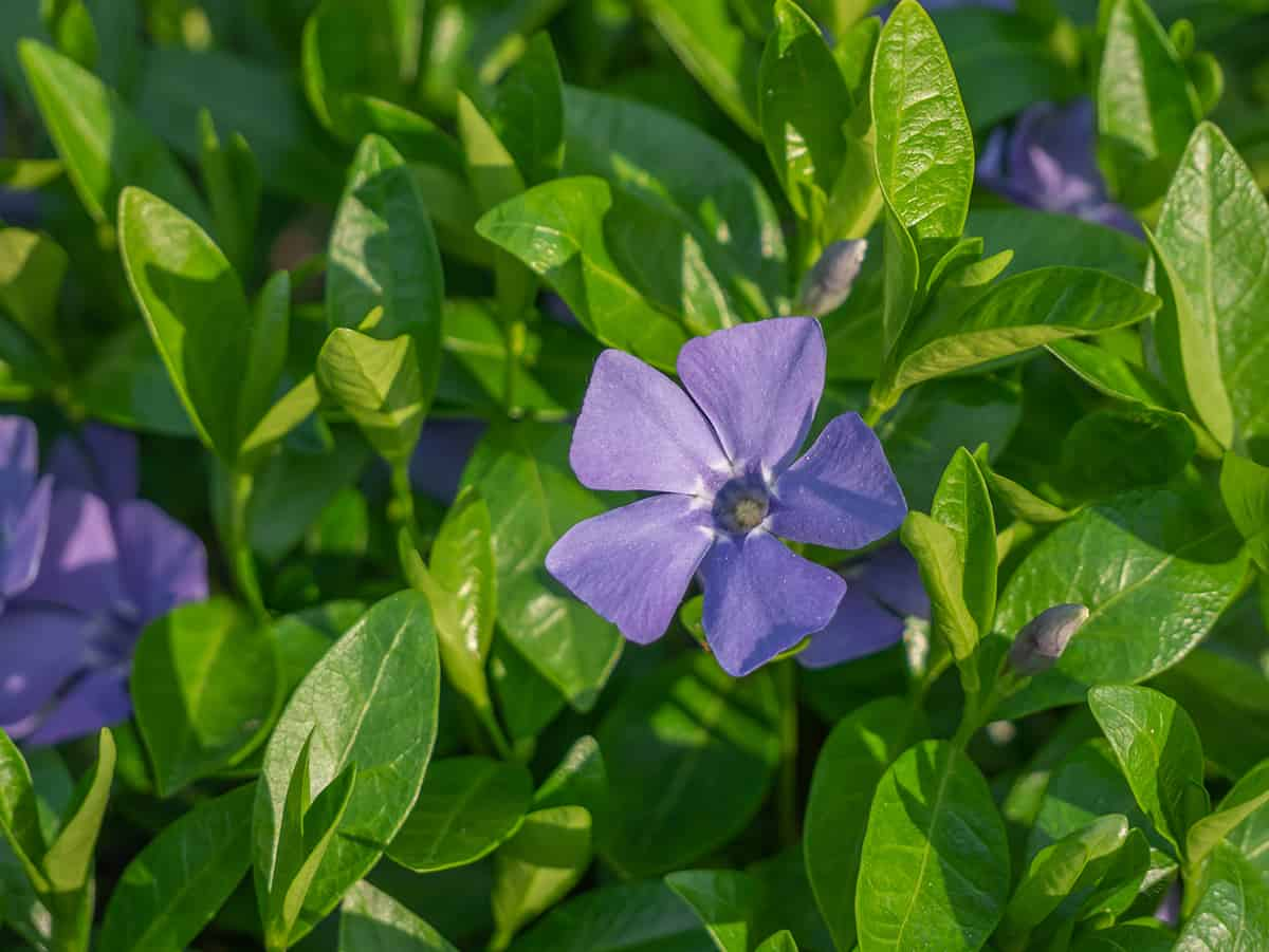 What is Periwinkle?